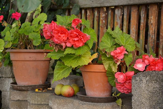 květináče s begóniemi